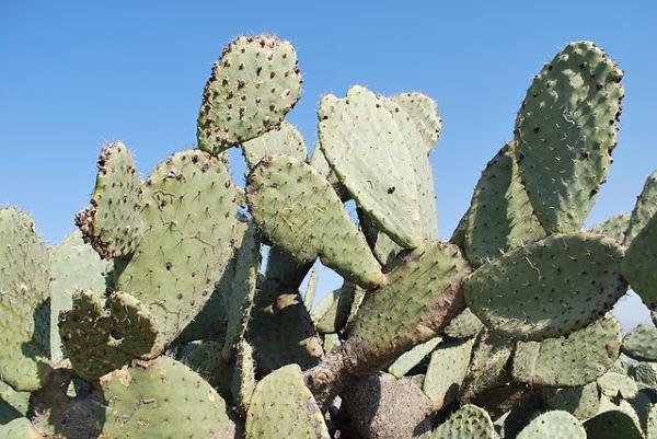 Mehhikos valmistatakse viigikaktusest vegannahka