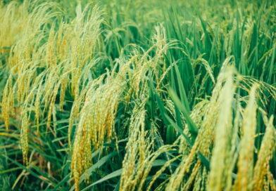 Uus tehnoloogia lignotselluloosist biokütuste masstootmiseks võimaldab ära kasutada biojäätmeid, näiteks riisikõrred,millele pole senini rakendust leitud.